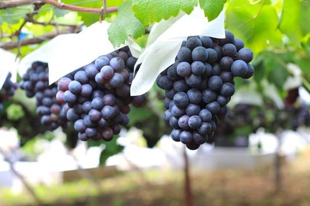ブドウの季節はそろそろ終わりなので事前に問い合わせをしよう