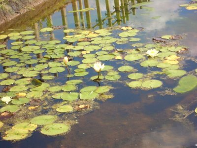 沼にはすがすがしいハスの花が咲いていました