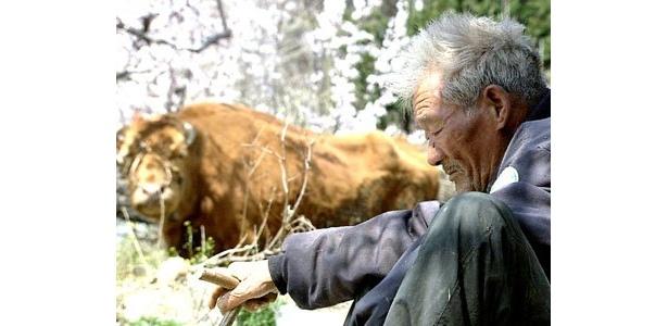 寿命が近づく老牛