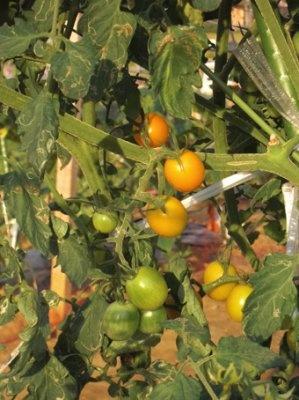 赤く色づき始めたミニトマト!