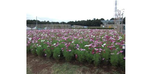 コスモスが満開!自然の花も綺麗でした
