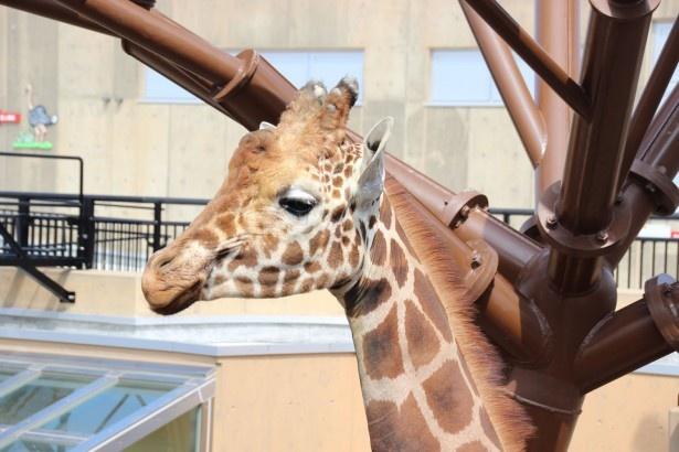 旭山動物園 大迫力なキリンのそばに まさかの生き物 ウォーカープラス