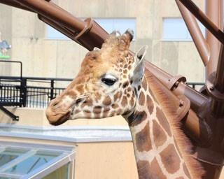 旭山動物園・きりん舎では、まさかのシーンも見られ…