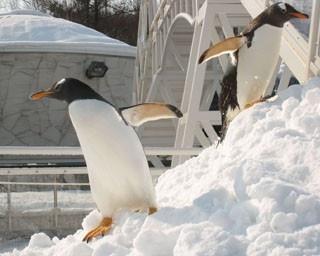 旭山動物園・ペンギンの散歩