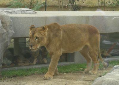 これがトンネル!ライオンを足元から観察できる