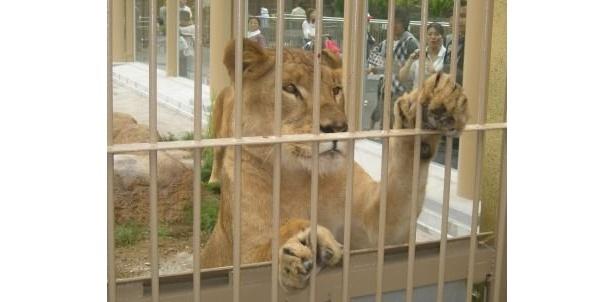 足をはみだして迫ってくるライオン