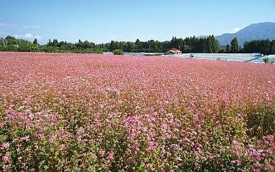 赤そば畑の面積は、2万4000平方メートル! 休憩テントもあるので、赤そばの花を眺めながらのんびりできる