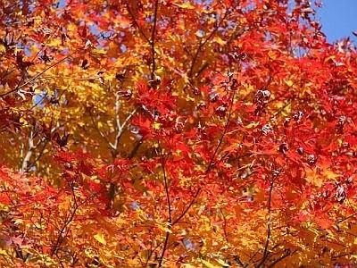 今年は例年に増して美しい紅葉が眺められる?
