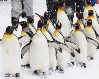 旭山動物園・ペンギンの散歩1