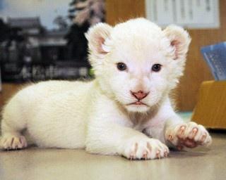 白くてふわふわのホワイトライオンの赤ちゃん。母親はメル、父親はセロ