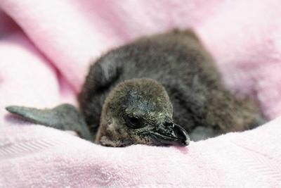 2016年の10月に今季初となるケープペンギンの赤ちゃんが誕生!/京都水族館