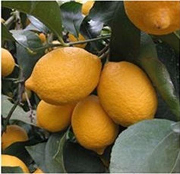 【写真を見る】ブランドレモン「大長(おおちょう)レモン」