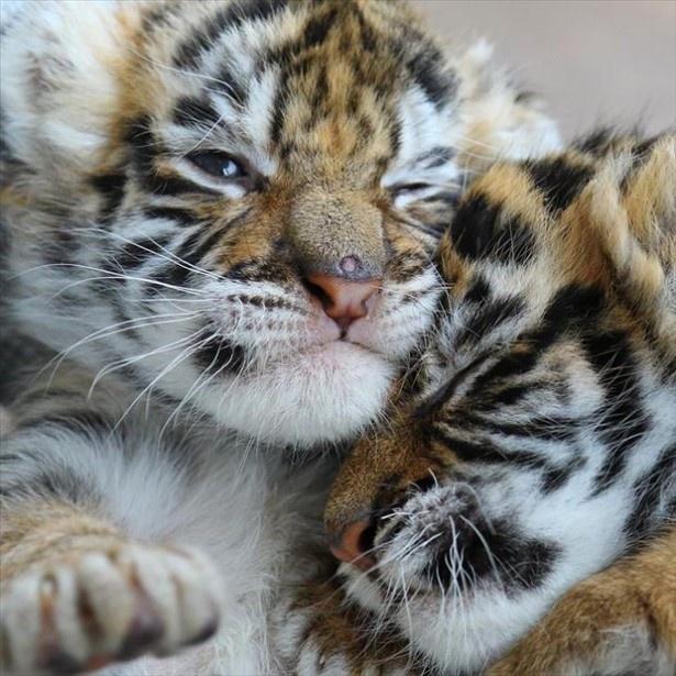 写真集「もふもふ日誌~仔トラと仔ライオン、ときどきウサギ~」(税別1200円)が発売