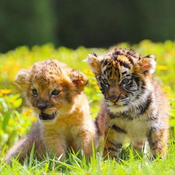 【写真を見る】もふもふな仔トラたちの愛くるしさに目を奪われること間違いなし!