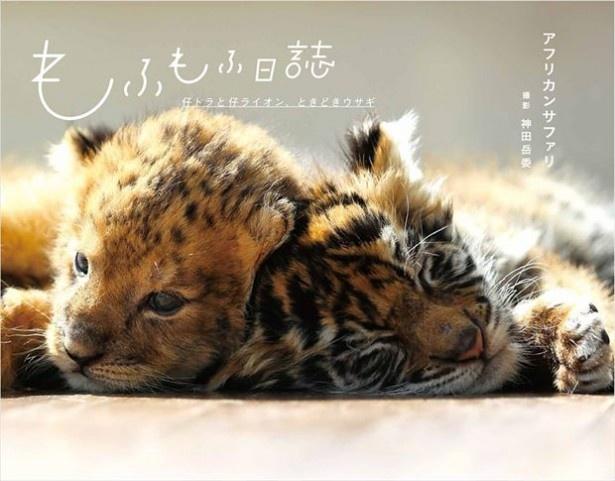 仔トラと仔ライオンの仲良しっぷりにも注目