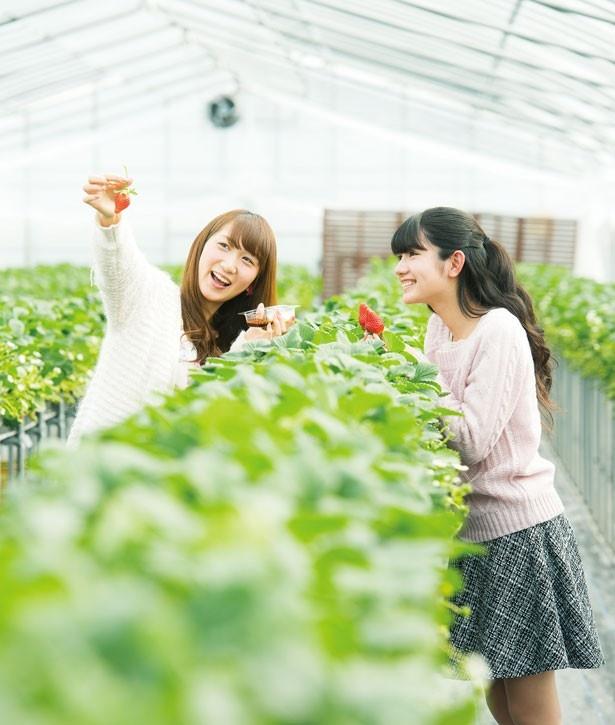 1,900円で45分間いちごが食べ放題!「鹿深いちご園」(滋賀県甲賀市)