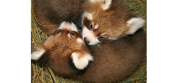 まどろんでる? 2頭身の姿がかわいい双子のレッサーパンダ。