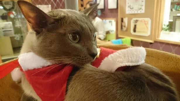 【画像を見る】猫たちもサンタのコスチュームでお出迎え