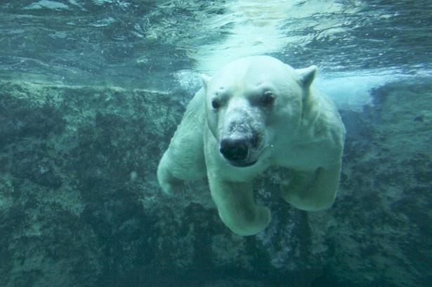 旭山動物園・ほっきょくぐま館