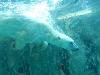 旭山動物園・ほっきょくぐま館 流線型の体