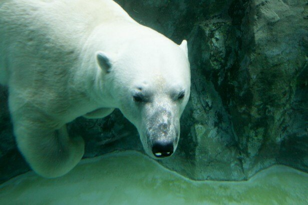 旭山動物園・ほっきょくぐま館 ホッキョクグマの顔