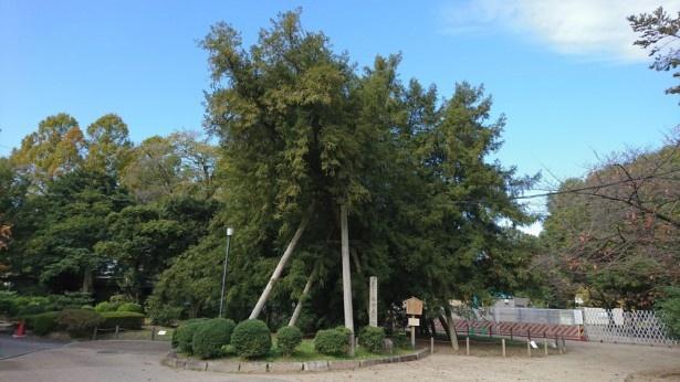 城内西之丸エリアにある国の天然記念物、カヤの木