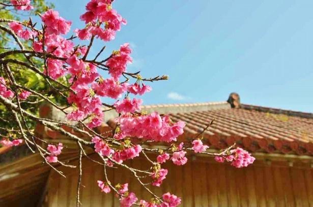 【写真を見る】 桜やツバキ、ツツジや山野草など、見頃のお花が見られる「花風期間限定エコツアー『やんばる野山のお花巡り』」