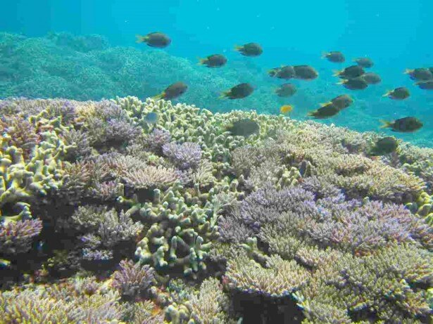 オクマの美しい海に生息するサンゴと、そのまわりを気持ちよさそうに泳ぐ熱帯魚たちを身近に「オクマの海に咲くお花畑を見に行こう! 」