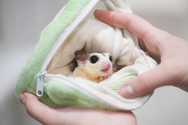 【写真を見る】モモンガはポシェットに入れてなでなで。巣のような居心地のため、安心するそう。写真は6カ月のりんちゃん/アニマルルーム いけもふ