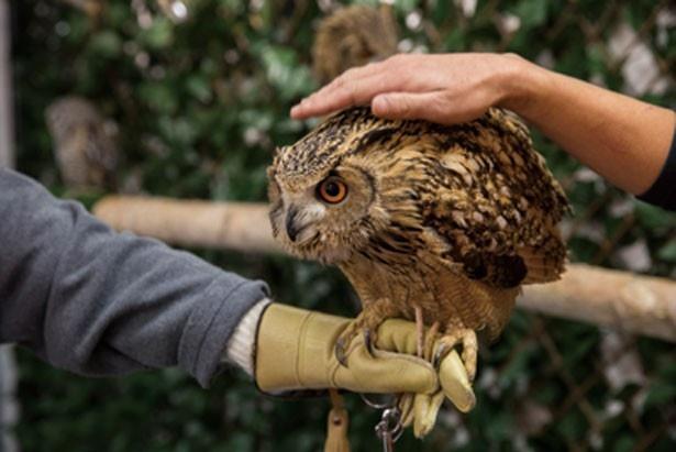 フクロウやミミズクを手にのせる際は、高さをキープするのがコツ/ふくろうカフェ OZ