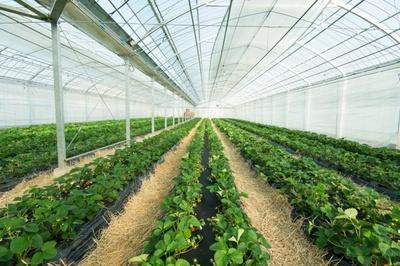 イチゴの他に野菜の収穫体験もできる「平井観光農園」。8種のイチゴのなかでおすすめは、桃に似た甘さとさわやかな酸味がある「おおきみ」