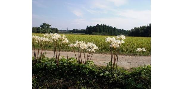 白い彼岸花の向こうには、たわわに実る私達の田んぼ