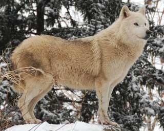 旭山動物園・丘の上に立つオオカミ