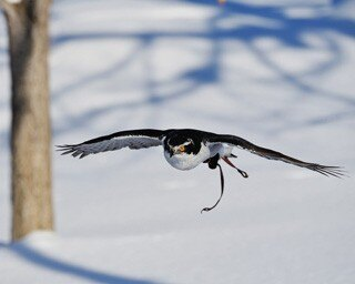 旭山動物園・オオタカの飛翔訓練