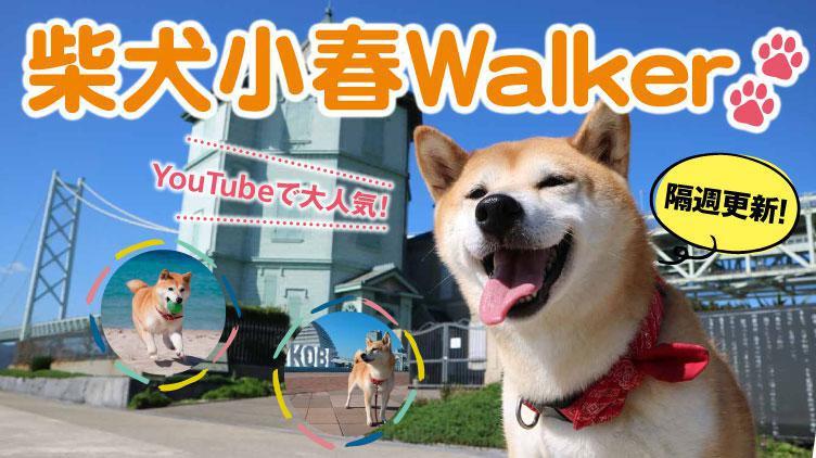 YouTubeで大人気!柴犬小春Walker