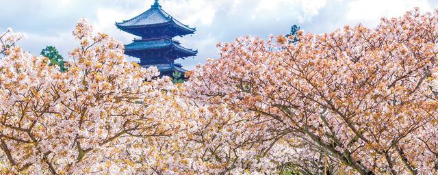 嵐山・東山・岡崎!春に見る京都絶景桜