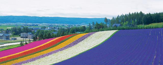 ラベンダー、丘、青い池…自然に抱かれる富良野・美瑛へ